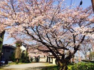 ディジ・テック本社前の桜